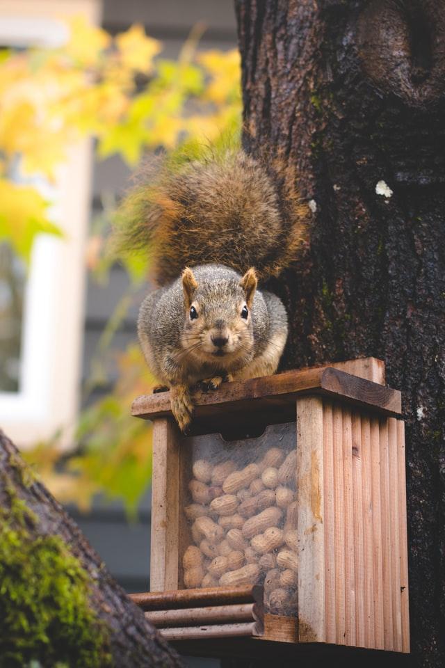 Sparhörnchen auf dem Nussvorrat